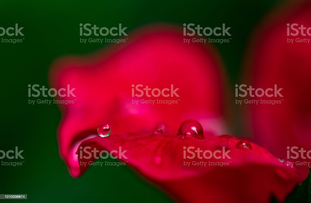 water droplets on rose petals stock photo