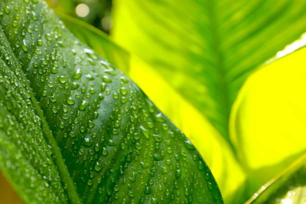 wassertröpfchen auf den grünen blättern nach regen für natürlichen hintergrund. - gibt es morgen regen stock-fotos und bilder