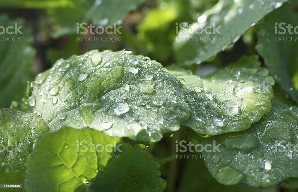 Water droplets on vegetable leaves royalty-free stock photo