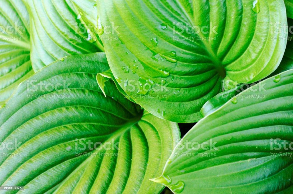 Water drops of hosta leaf foto stock royalty-free