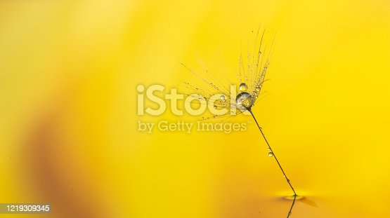 184093103 istock photo Water drops on a Dandelion seed. 1219309345