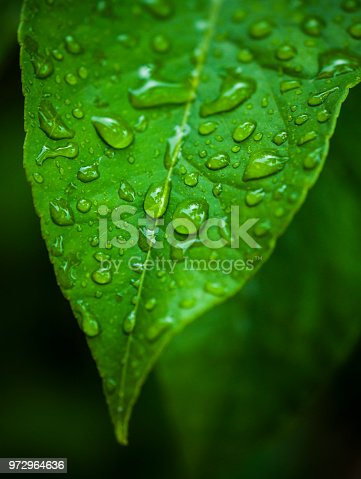Water drops on a lemon tree leaf