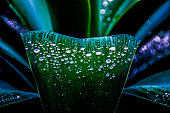 istock Water drops on Agave 517420552