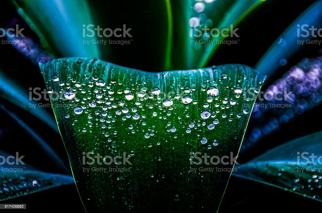 Water drops on Agave stock photo