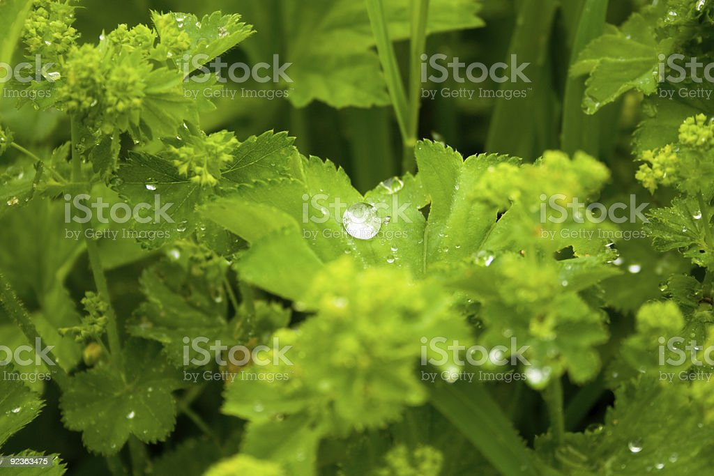 Water drops on grass after rain royalty-free stock photo