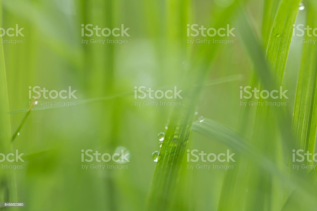 water drops on grass in nature with beautiful bokeh stock photo