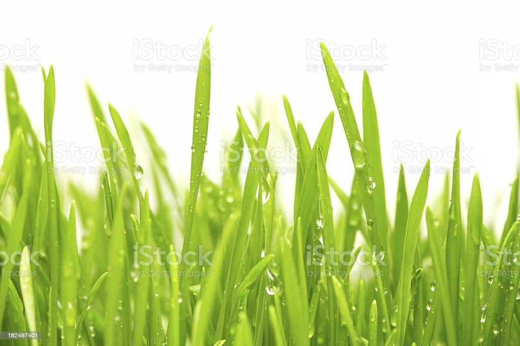 Water drops on green grass royalty-free stock photo