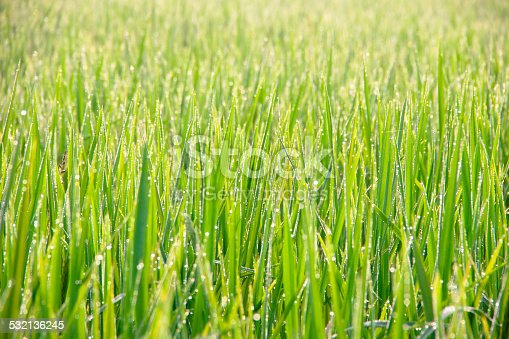672372726istockphoto Water drops on green grass - shallow DOF 532136245