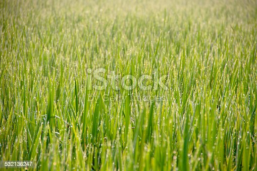 672372726istockphoto Water drops on green grass - shallow DOF 532136247