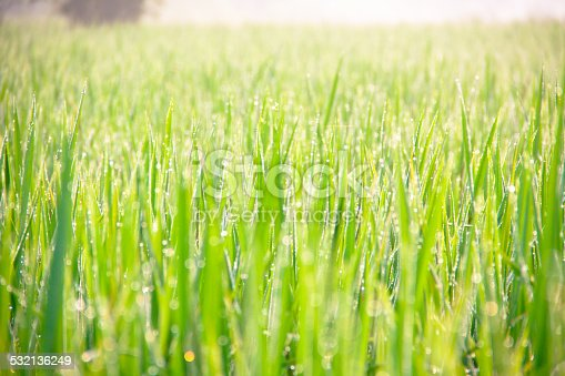 672372726istockphoto Water drops on green grass - shallow DOF 532136249