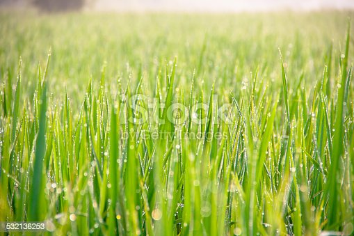 672372726istockphoto Water drops on green grass - shallow DOF 532136253