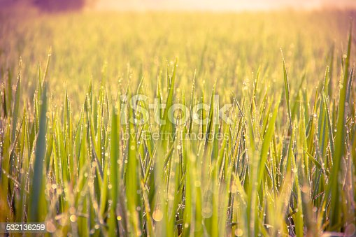 672372726istockphoto Water drops on green grass - shallow DOF 532136259