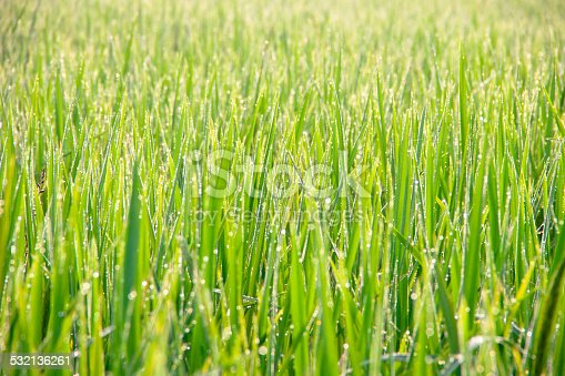 672372726istockphoto Water drops on green grass - shallow DOF 532136261