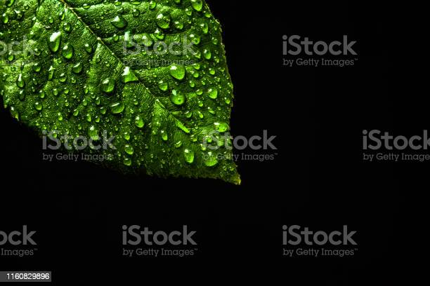 Photo of Water drops on green leaf close up on black background isolated. Copy space