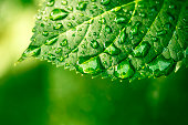 Macro shot of water droplets on a leaf, copyspace in the lower area, green background,