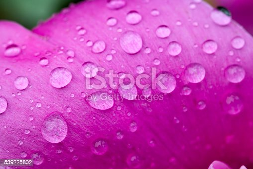 Abstract nature blurred background - water drops on peony petal. Selective focus macro photo of peony flower with rain drops.