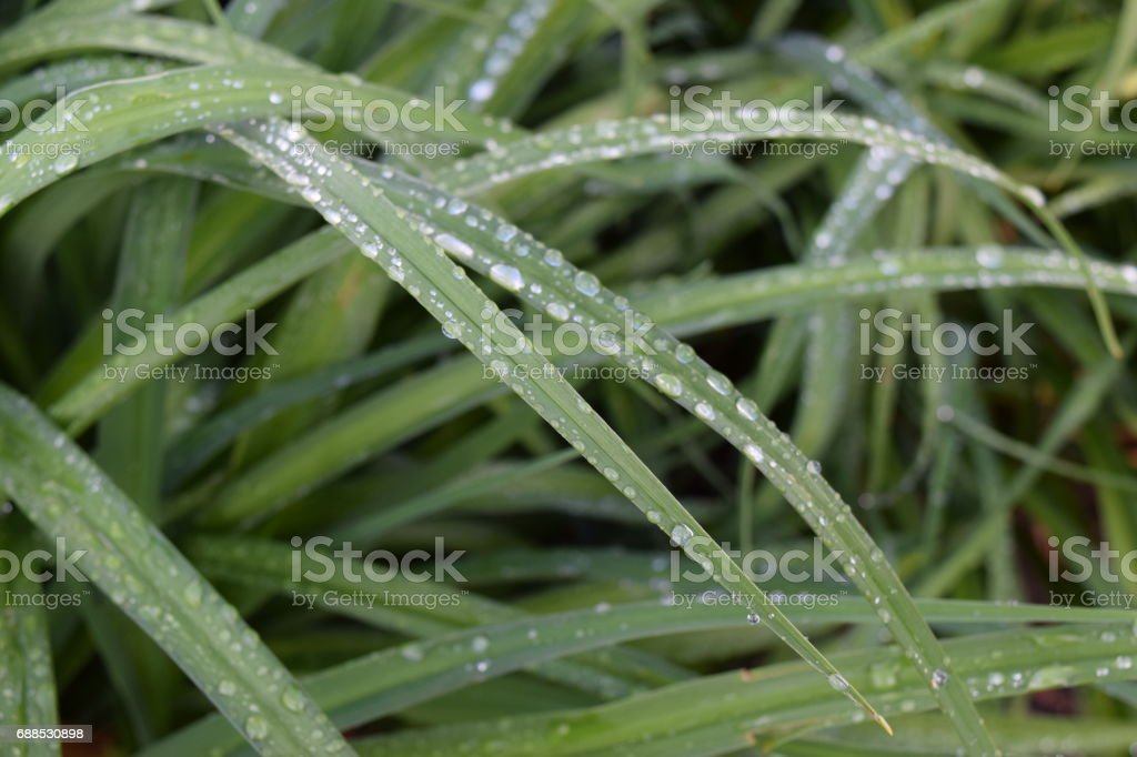 Water drops on plant blades stock photo