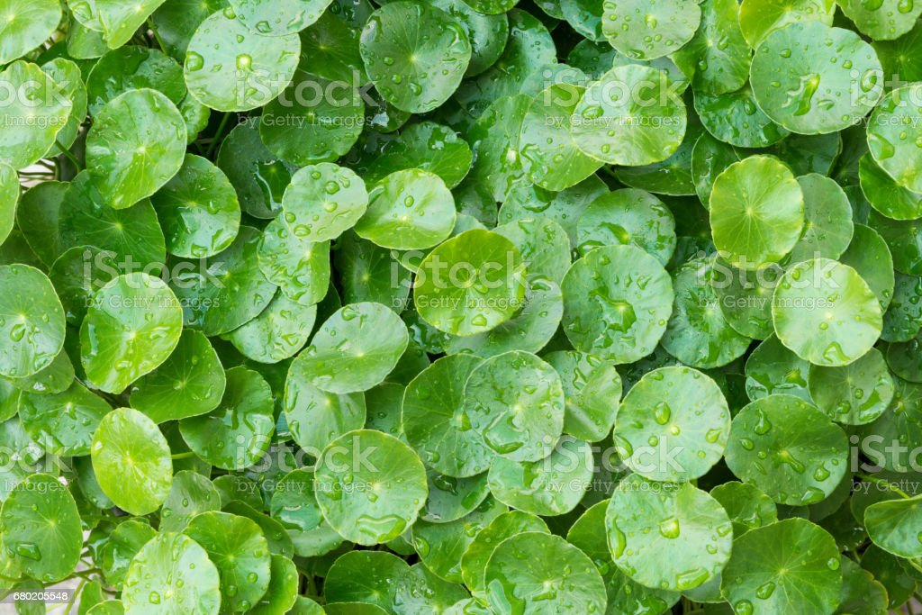 Water drops on rounded green leaves plant (Hydrocotyle Umbellata or Water Pennywort), nature background stock photo
