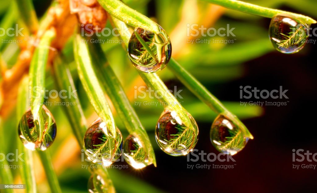 Water drops on the needles of the Christmas tree on a dark background royalty-free stock photo