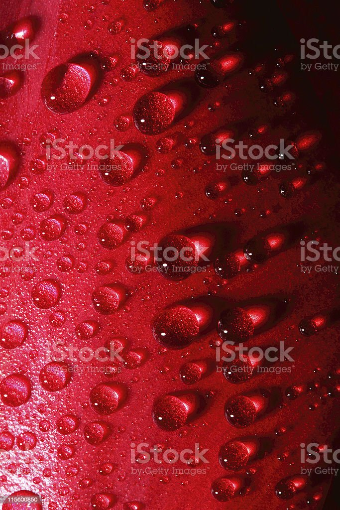 water drops on tulip petal background royalty-free stock photo