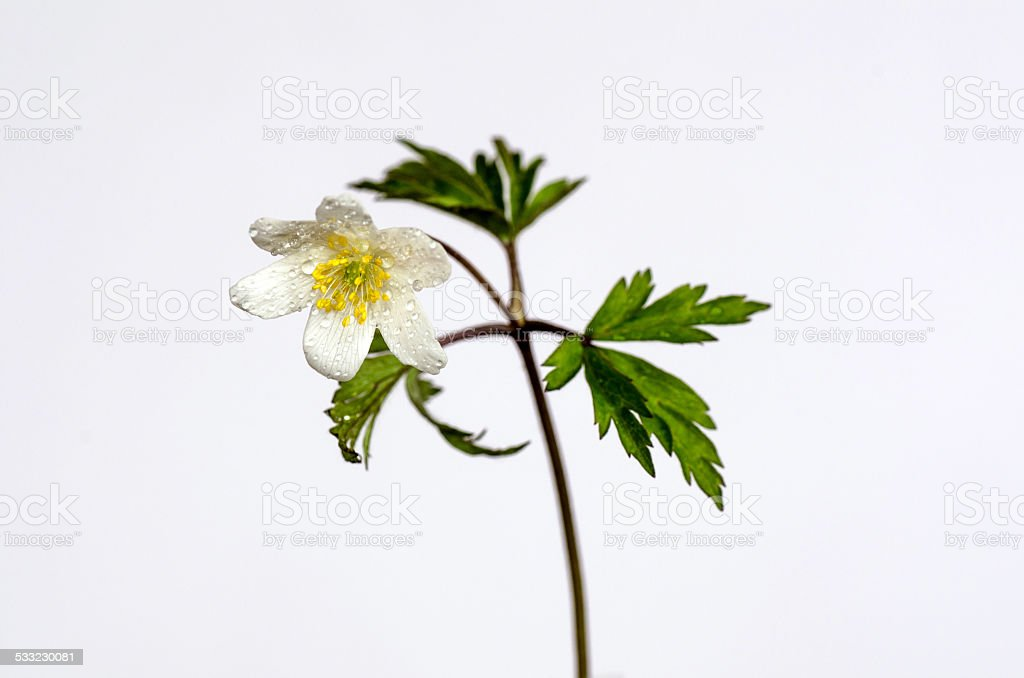 Water drops on wood anemone stock photo