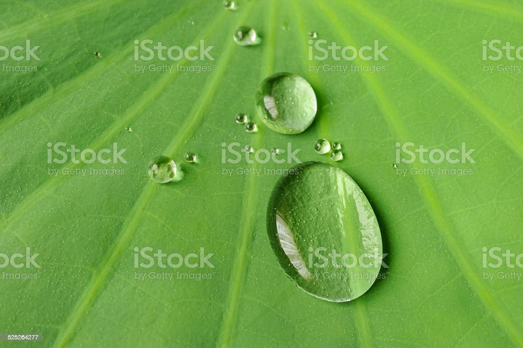 Water drops over lotus leaf stock photo