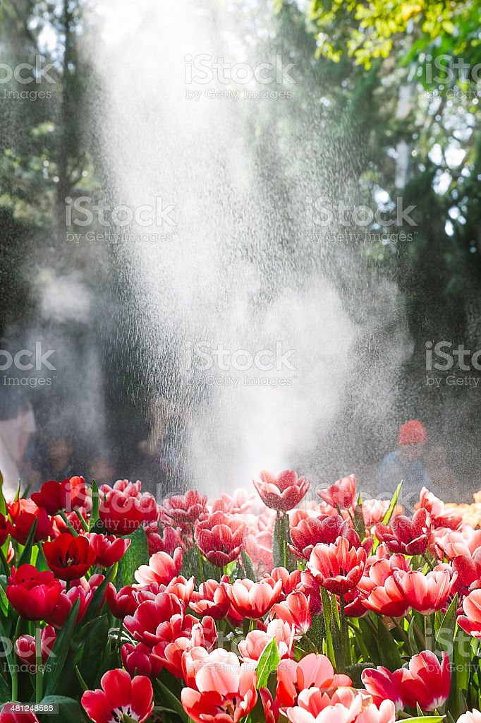 Water drops , red tulips in the spring garden stock photo