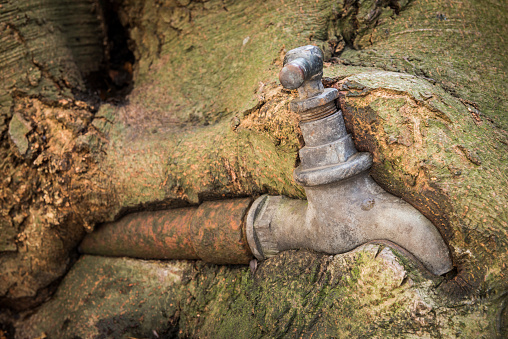 Old rusty water faucet overgrown by a old beech tree.