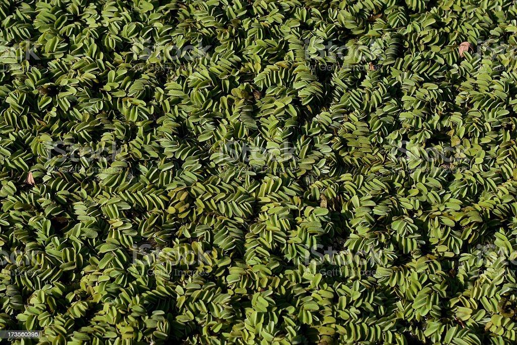 water fern stock photo