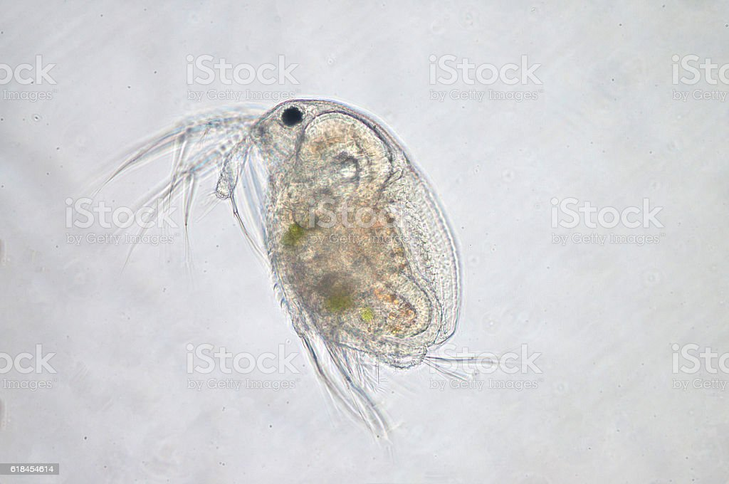 Water flea (Moina macrocopa) under microscope view stock photo