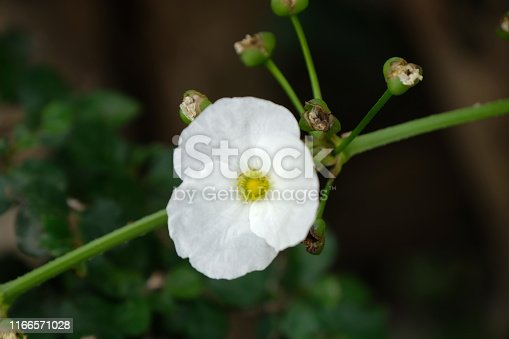 Water flower with white color in rainforest