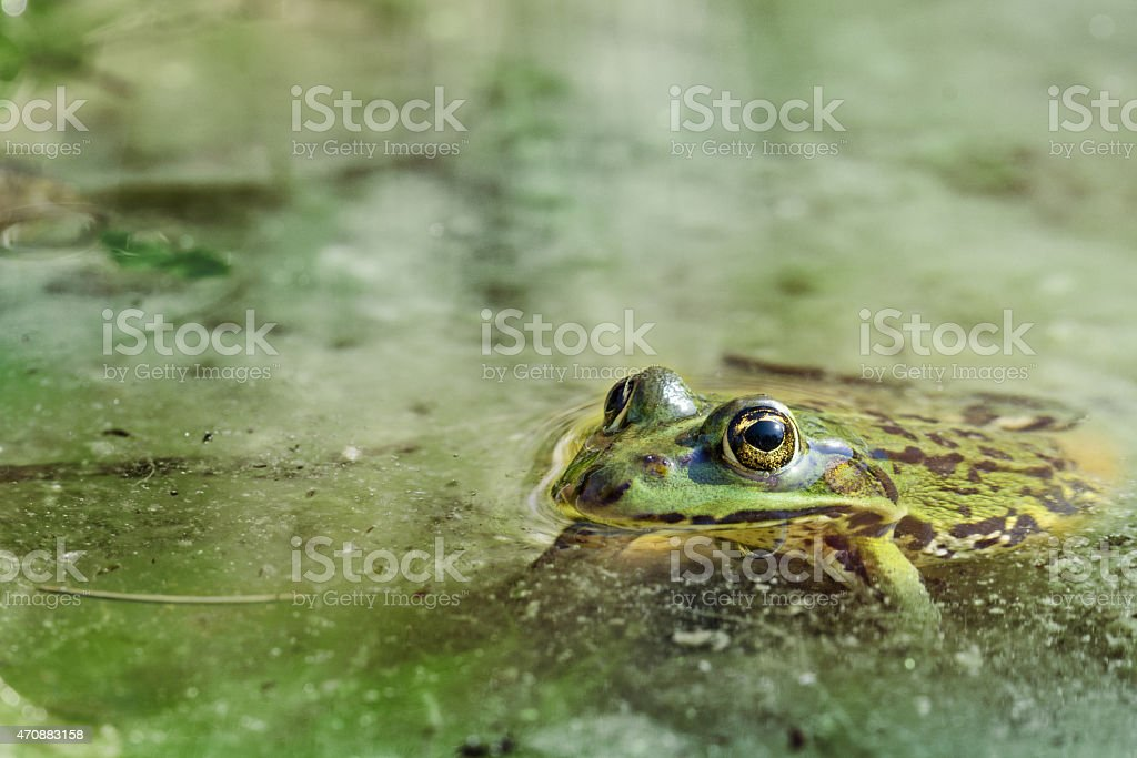 water frog in the water stock photo