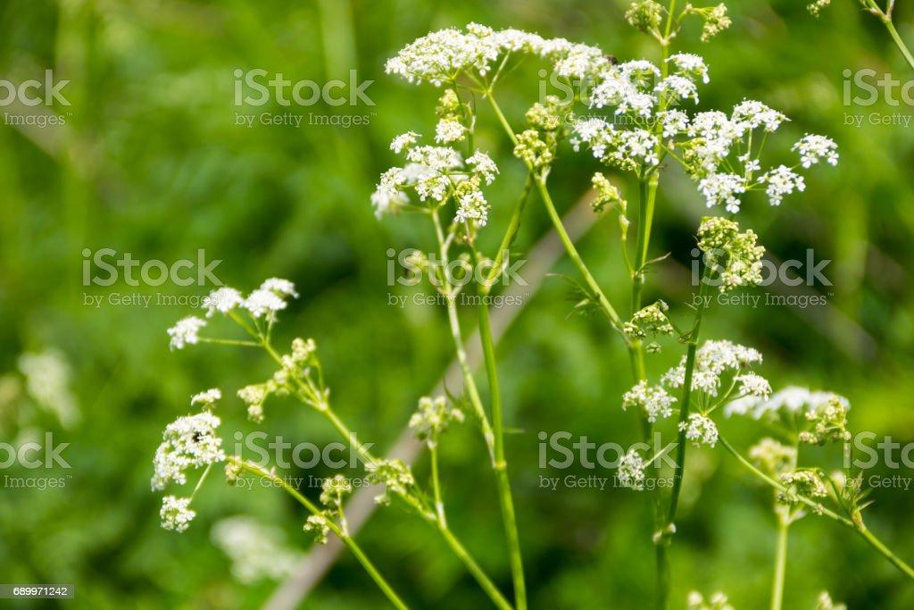 Water hemlock (Conium maculatum) flowers stock photo
