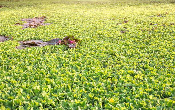 water hyacinth and lotus on pond for background stock photo