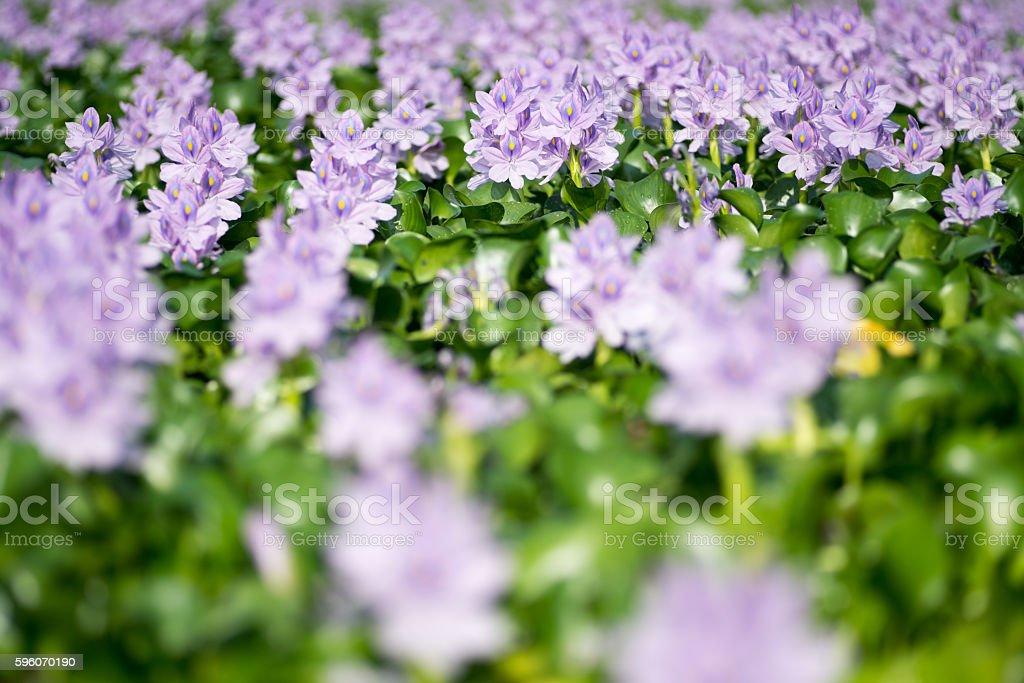 Water hyacinth at Motoyakushiji area,Kashihara,nara,japan royalty-free stock photo