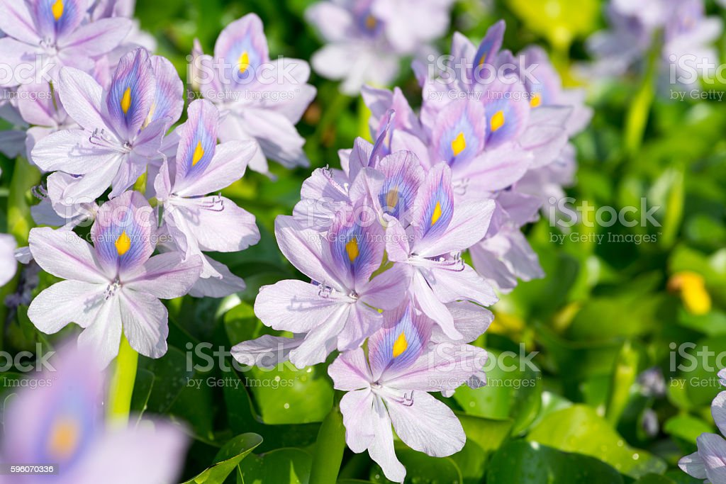 Water hyacinth at Motoyakushiji area,Kashihara,nara,japan royalty-free stock photo