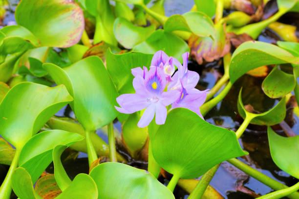 Wasserhyazinthe Blumen auf einem Teich – Foto