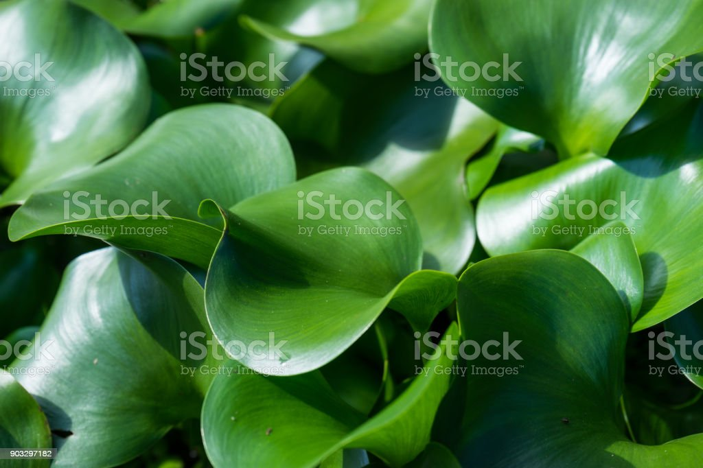 Water hyacinth leaves stock photo