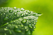 Water Drop on Leaf  with green background