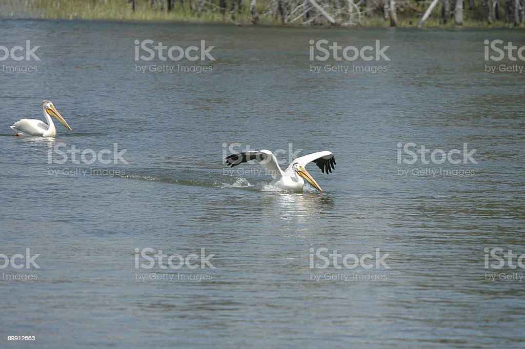 Water Landing royalty-free stock photo
