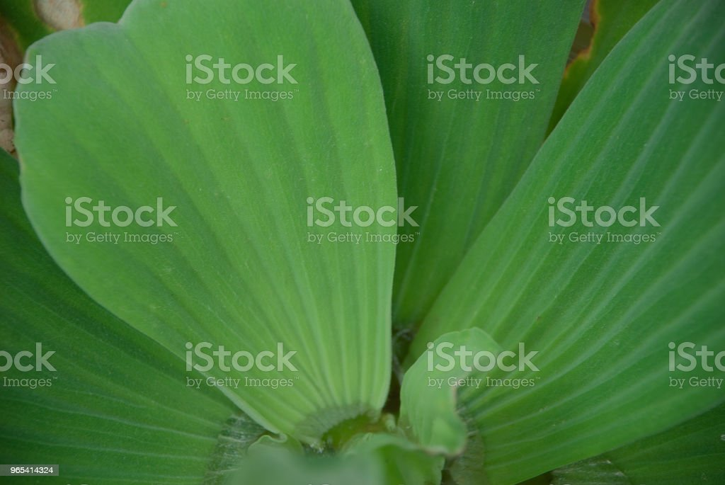 Water lettuce royalty-free stock photo