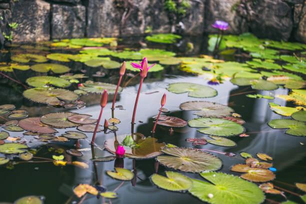 Seerosen und Blatt im Teich – Foto