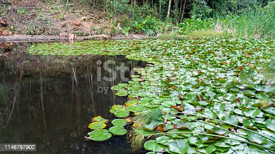 Water lilies growing in a freshwater pond by a relaxing bush trail. No flowers as yet; just green leaves and other weeds on the water surface. Some reflection of the surrounding woods on the water.