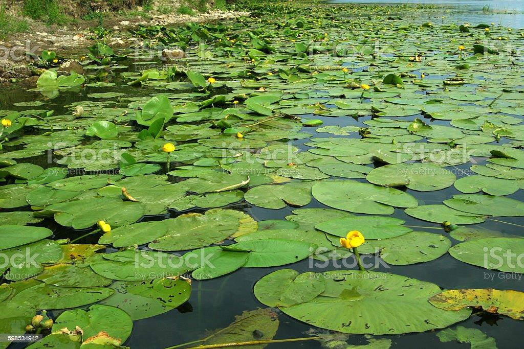Water lilies at the shore closeup background photo libre de droits