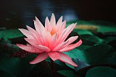 istock Water lilies blooming in summer pond 1270427630