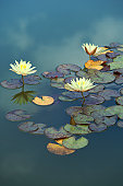 Beautiful Photo of White Waterlily Flower Blooming in the Pond
