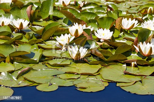 istock water lilies floating on the surface of the water 1327487891