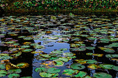 Water lilies green leaves beautiful floral background on the water surface