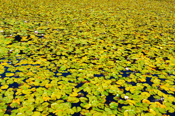 Water lilies in a pond stock photo