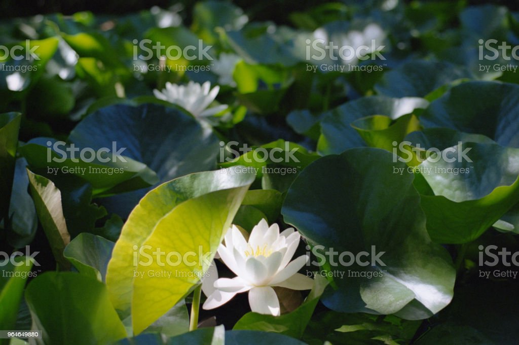 Water lilies in a pond. Shot on film royalty-free stock photo